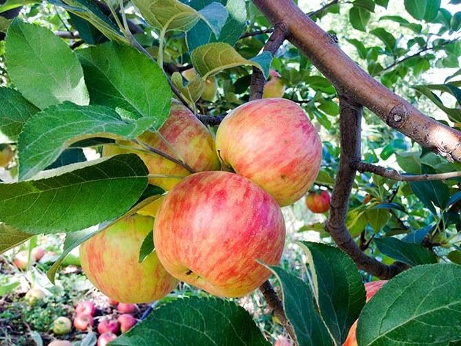 Apple Pickin'